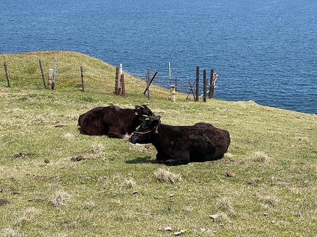 杉ノ原放牧場の牛
