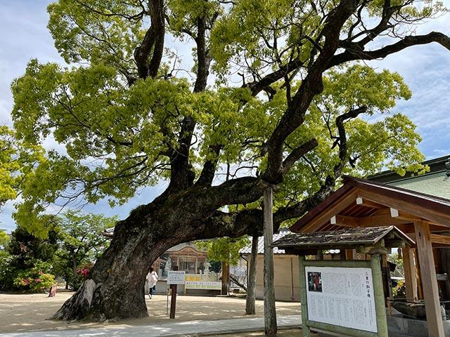 新北神社の樹齢1600年のクスの木