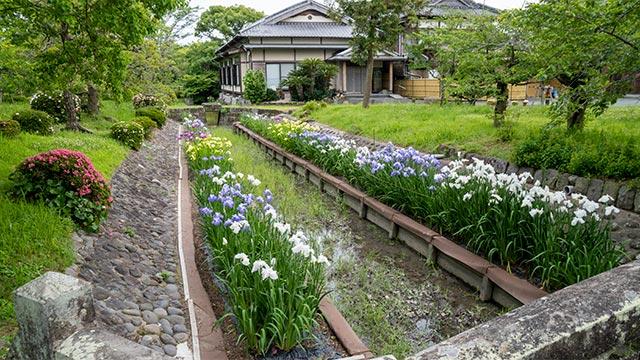 蓮池神社の菖蒲