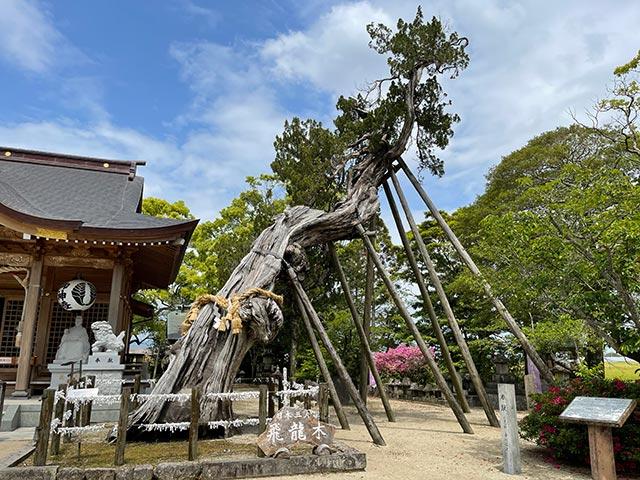 新北神社で徐福が種をまいたと伝わるビャクシンの木