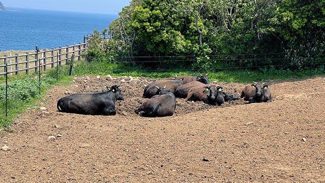 杉ノ原放牧場の牛たち
