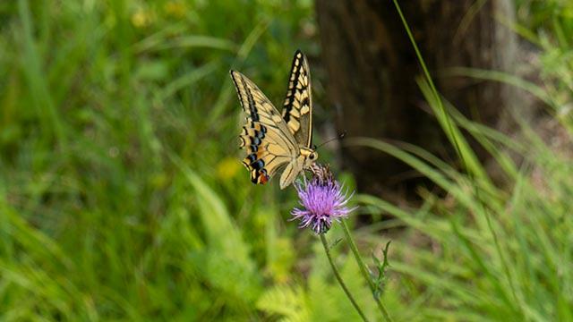 鬼の鼻山展望台のアゲハ蝶